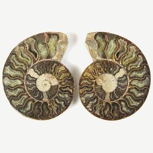 AmmonitecutPairLg